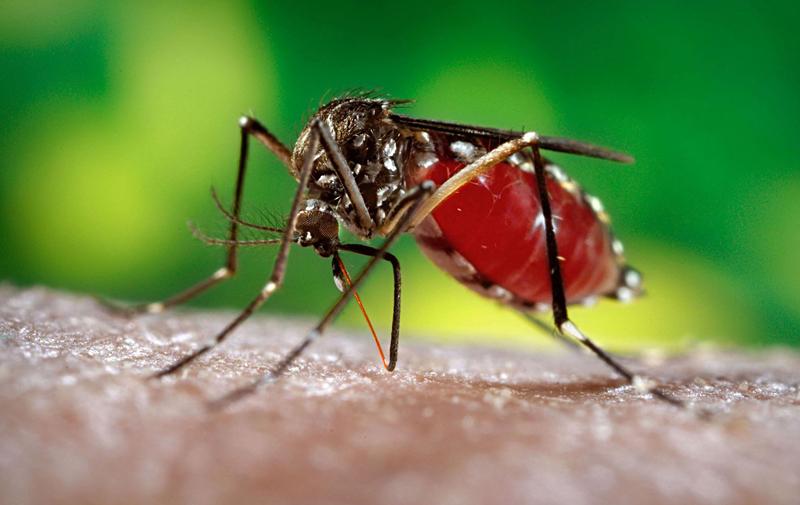 Danemark: Détection d'un des premiers cas du virus Zika en Europe
