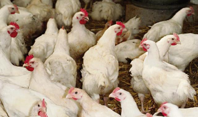 Les prix du poulet restent corrects
