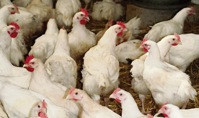 Dawajine 2014: Les aviculteurs en conclave à Casablanca
