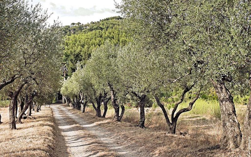 Allergie au pollen : Oujda interdit de planter des oliviers dans le périmètre urbain