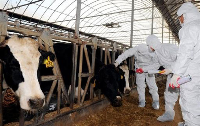 Fièvre aphteuse: 1.350.000 têtes de bovin vaccinés