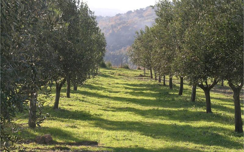 Meknès célèbre l'olivier  de la Méditerranée