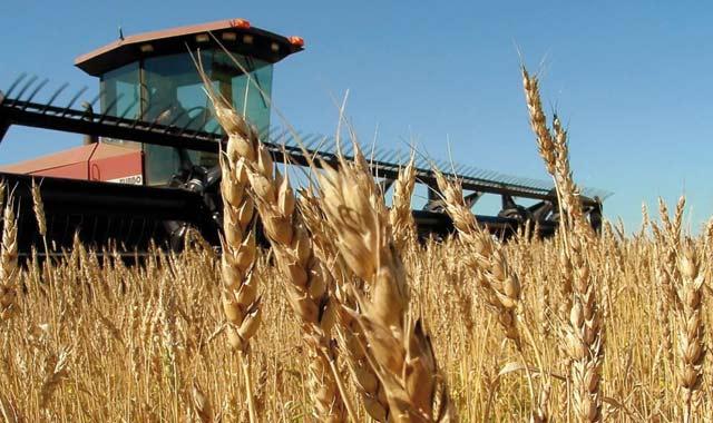La collecte cumulée des céréales atteint près de 13,5 millions  de quintaux