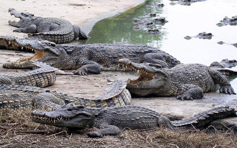 Thaïlande : une femme se suicide en se jetant dans  une fosse aux crocodiles