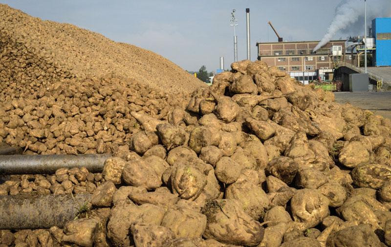Production de betterave: Doukkala-Abda réussit sa campagne sucrière