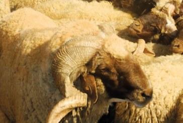 Aid Al Adha 2016 : L'offre en ovin et caprin supérieure à la demande