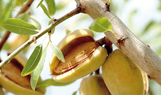 L'amandier, après l'olivier, est l'espèce fruitière qui occupe le plus de superficie au Maroc