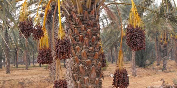 L'ONCA chouchoute le palmier-dattier