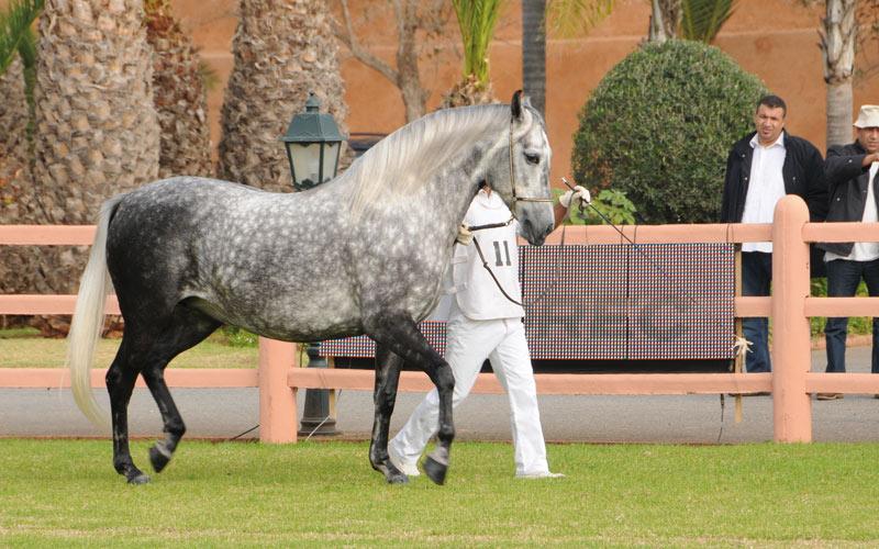 Concours national d'élevage du barbe et arabe-barbe: Les meilleurs chevaux  du Royaume en compétition