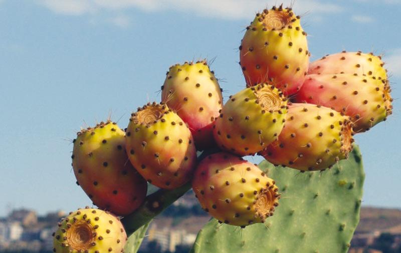 Sidi Ifni célèbre le fruit du cactus