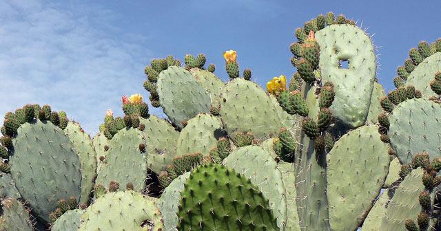 Maroc-Japon: installation d'une unité d'extraction de l'huile de cactus à Sidi Ifni