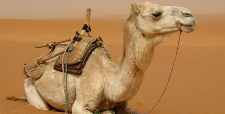Vidéo. Boire l'urine de chameau est bon pour la santé ?