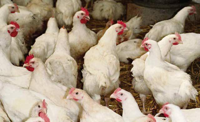 Grippe aviaire: le  Maroc arrête les importations de volaille française