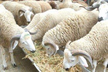Cheptel ovin : Une production de  130.000 tonnes assurée annuellement