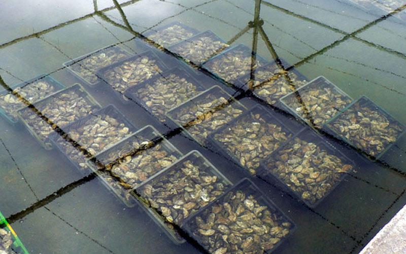 Pêches : Interdiction momentanée de consommer les huitres de Oualidia