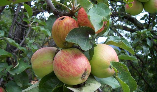 La pomme en  vedette du 26 au 28 septembre à Ifrane