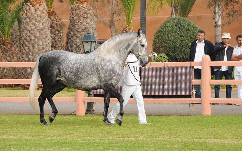 Nombre record  de visiteurs au  Salon du cheval d'El Jadida