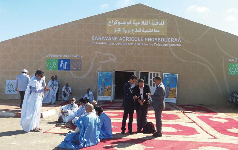 OCP-Fondation Phosboucraâ: L'élevage camelin décortiqué à Dakhla