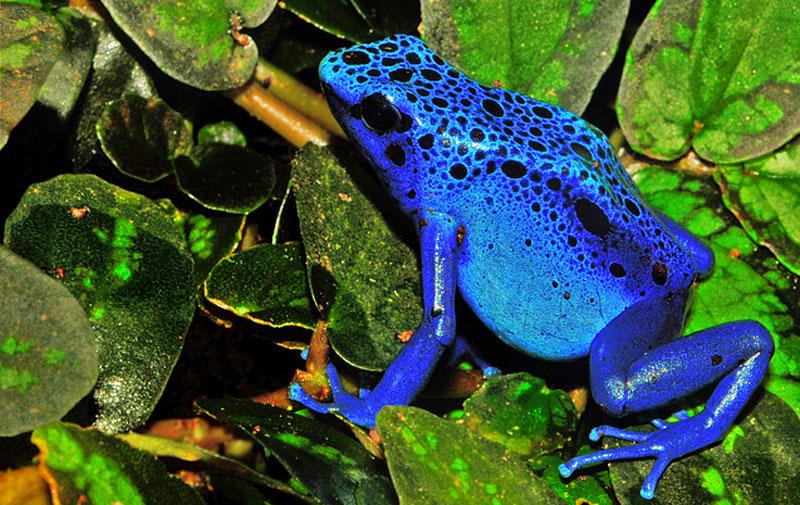 Brésil : découverte d'une espèce de grenouille plus venimeuse qu'un serpent à sonnette