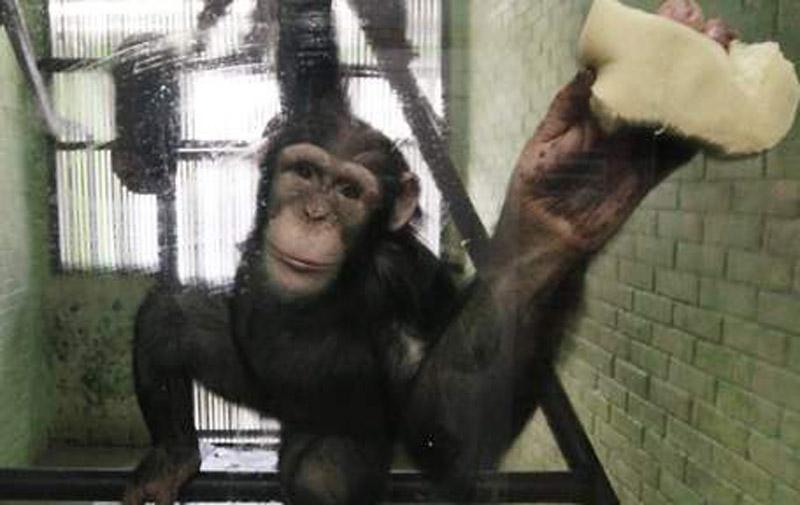 Etats-Unis: chimpanzés ne serviront plus à la recherche des labos publics