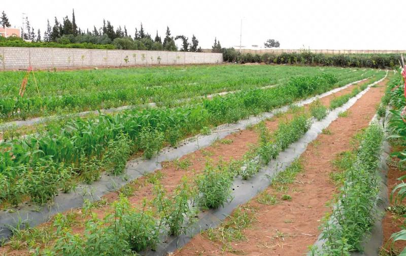 Un programme agricole ambitieux pour Safi et Youssoufia