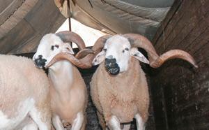 Aïd Al Adha : Le marché couvre largement la demande