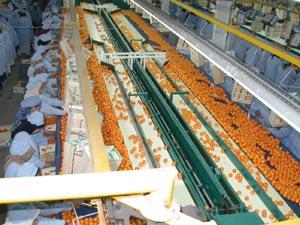 Agadir : La production des agrumes à l'ordre du jour