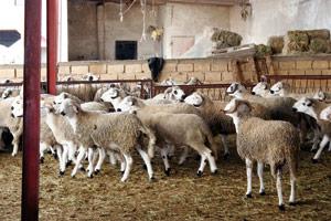 Le ministère de l'Agriculture arrive à circonscrire la peste des petits ruminants