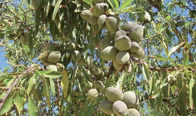 Culture de l'amandier à Taza: Le Plan Maroc Vert, une aubaine  pour la région