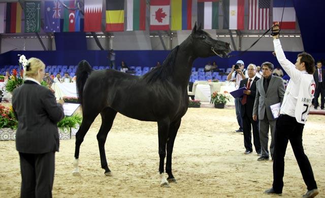 Salon du cheval d'El Jadida: Une médaille d or pour «Anouar Bouznika»