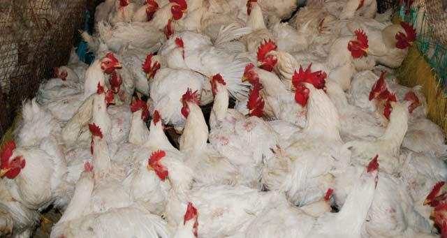 Aviculture : Dawajine souffle  sa 15ème bougie