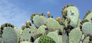 Guelmim : Une production d'un million de tonnes de cactus d'ici 2020