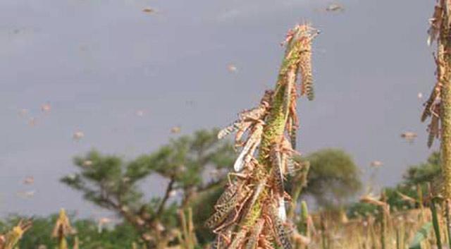 Alerte de la FAO : Invasion prochaine de criquets pélerins au Maroc