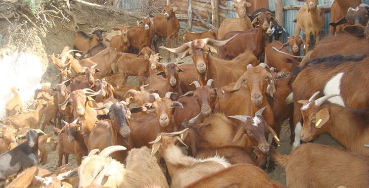 L'élevage caprin, une filière en développement dans le nord