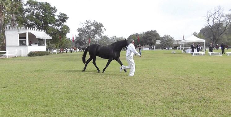 Sports équestres: Le championnat des jeunes chevaux, barbes  et arabes barbes au Domaine de Sidi Berni