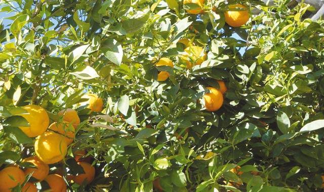 Les vergers marocains en bonne santé