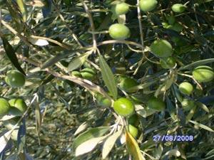 Larache : Plantation de 5.000 ha d'olivier