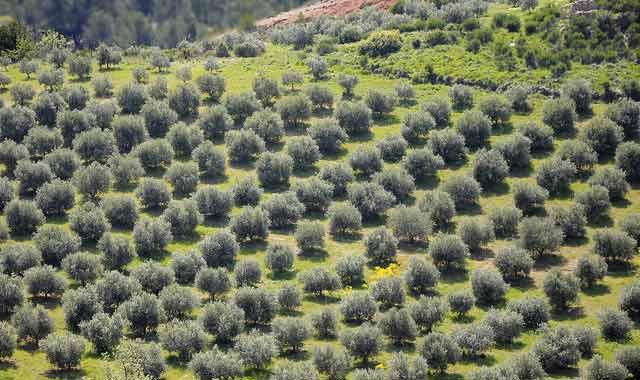 Millennium Challenge Corporation : Dix millions d oliviers plantés