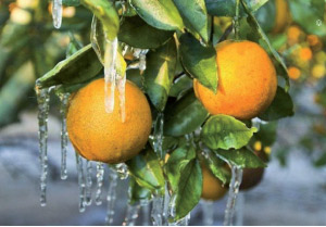 Agriculture : Quelques dégâts dus au froid