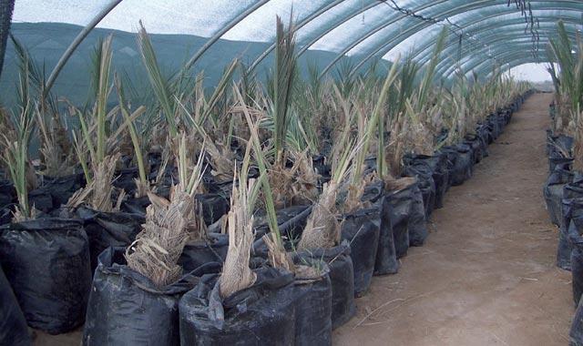 Maroc : trois millions de palmiers dattiers de plus