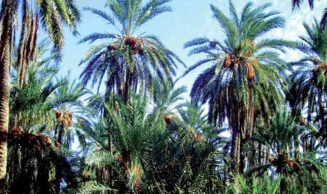 Errachidia : coup de pouce royal aux palmiers dattiers