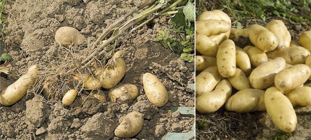 Tanger-Tétouan : 3000 ha supplémentaires consacrés à la culture de la pomme de terre