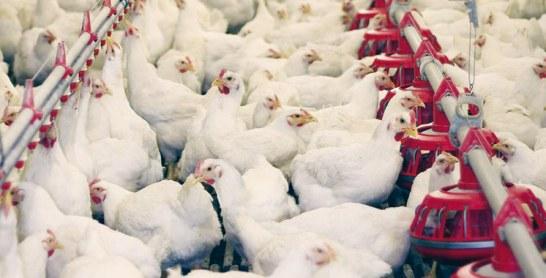 La Fisa dément les fausses allégations: Les poules pondeuses et reproductrices sont en bonne santé
