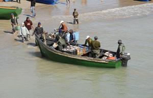 Oued Eddahab-Lagouira : Le quota réservé à la pêche du poulpe respecté