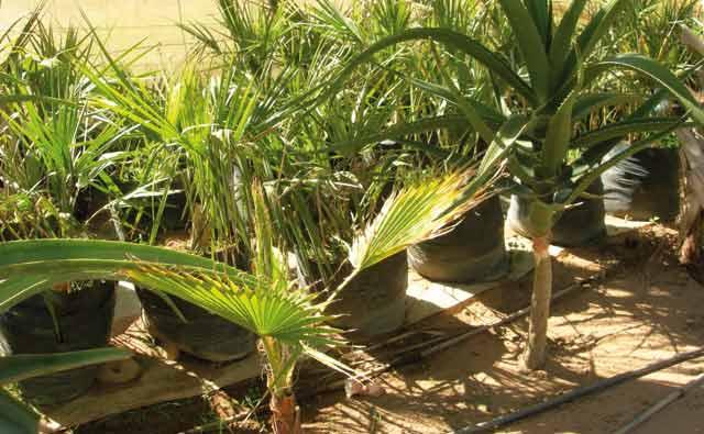 ONSSA : Pour la protection phytosanitaire  du palmier dattier