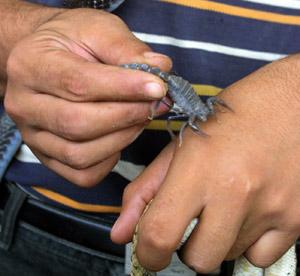 30.000 Marocains victimes de piqûres  de scorpions