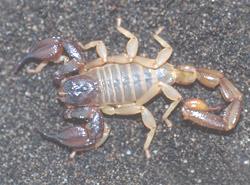 Les scorpions attaquent