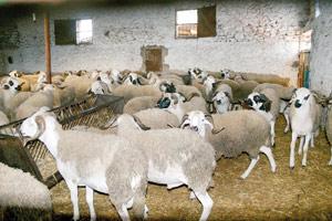Une légère hausse du prix du mouton en perspective