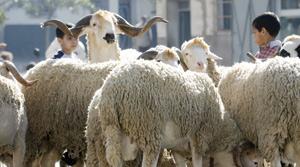 Aïd Al Adha : L'offre en ovins et caprins atteint 7,6 millions de têtes