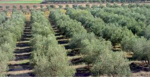 Oriental: Baisse significative de la production oléicole